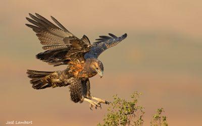Aguila Juvenil Aproximando