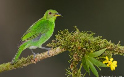 green-honey-creeper-female