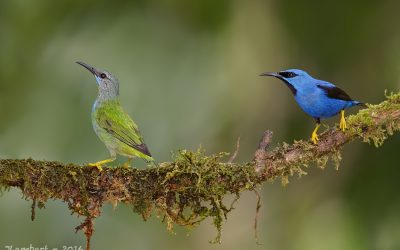 shinning honeycreeper couple