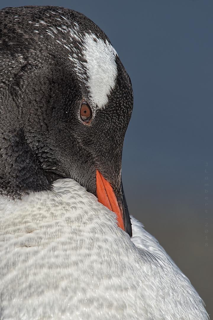 26 de Noviembre. Retrato de Pinguino de Papúa.
