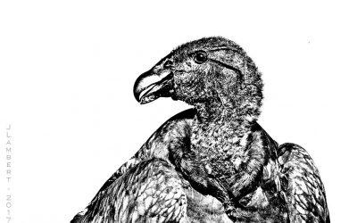 condor juvenil2