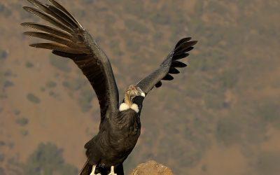 Condor Hembra