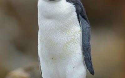 Pinguino de penacho amarillo