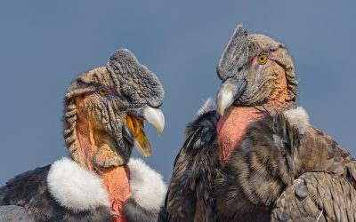 Condor macho