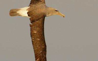 Albatros de frente  blanca