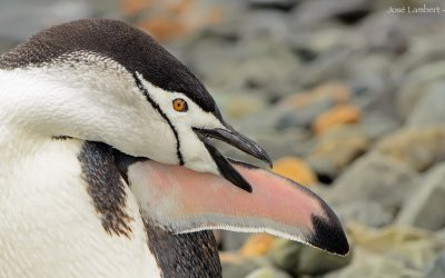 Pinguino Barbijo