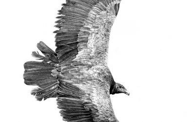 condor juvenil